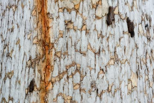 Close up of patterned tree trunk with dark orange sap running down.