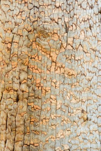 Detail shot of grey tree trunk with gold cracks forming a pattern