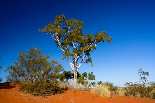 Ghost gum on reddish orange desert sand dune with blue sky