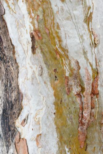 Detail shot of patterned heavily textured gum tree trunk with shades of greens, oranges and reds