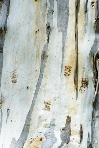 Close up of scribbly gum tree trunk with smooth texture and grey and white colouring