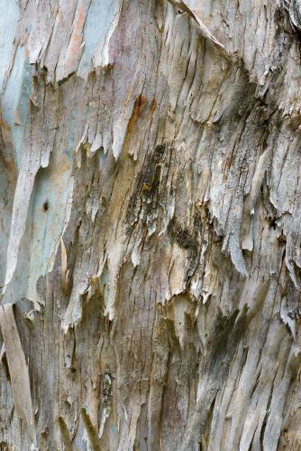 Close up of gum tree trunk with rough texture and peeling bark