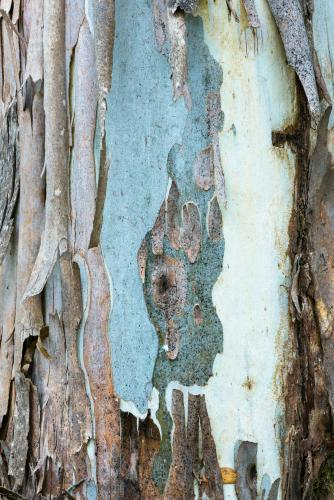 Close up of gum tree trunk with new blue growth and peeling bark