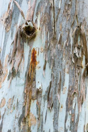 Close up of gum tree trunk with rough texture, sap stains and peeling bark