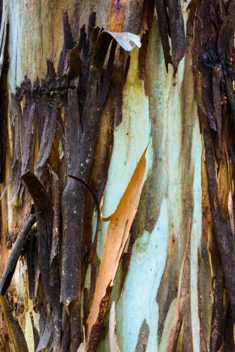 Close up of colourful burnt and peeling gum tree trunk