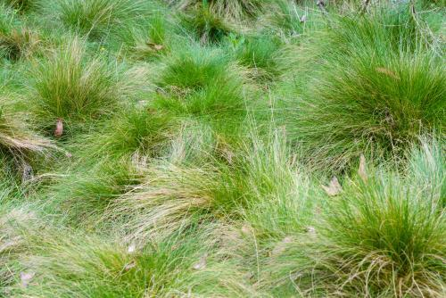 Close up of green subalpine tufts of grass