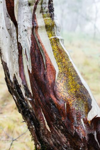 Close up of gum tree trunk with peeling red bark and green, grey and white new growth