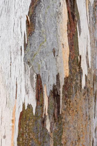 Close up of gum tree trunk with peeling brown bark and orange, grey and white new growth