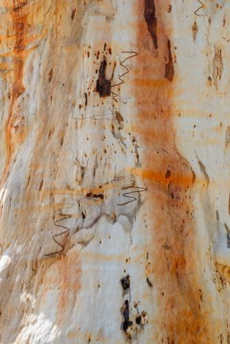 Close up of gum tree trunk with smooth texture and orange and white colouring
