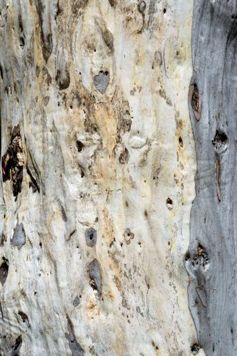 Close up of gum tree trunk with rough texture and grey and white colouring