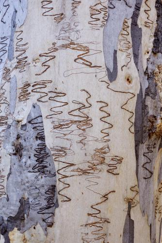 close up of grey and white gum tree trunk with scribbly insect trails