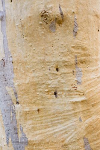 Close up of gum tree trunk with patterned texture and yellow and grey colouring
