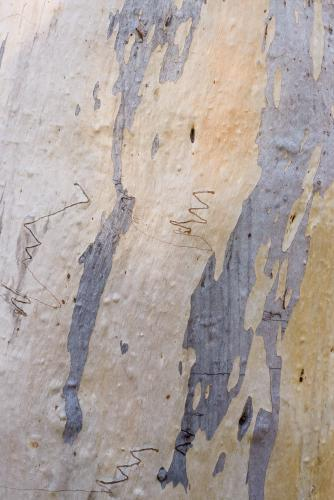 Close up of patterned gum tree trunk, scribbles and grey, yellow and white colouring