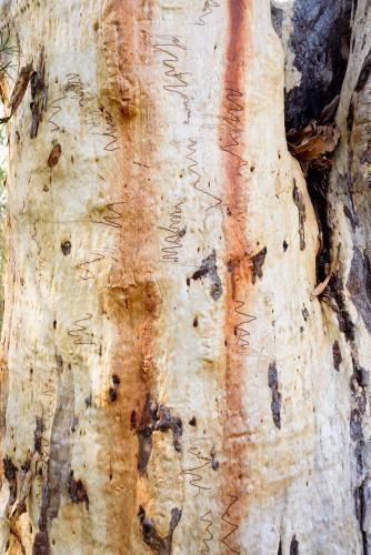 Close up of textured gum tree trunk with scribbly insect trails and orange and white colouring