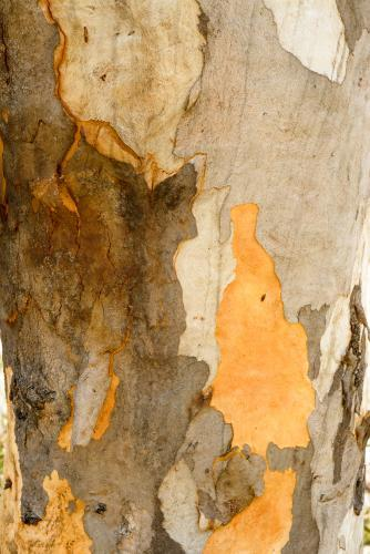 Close up of gum tree trunk with smooth texture and mottled brown and orange colouring