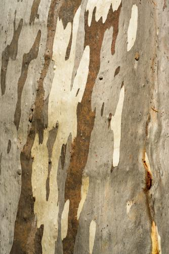 Close up of gum tree trunk with smooth texture and brown and white colouring