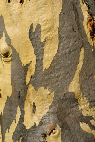 Close up of gum tree trunk with smooth texture and grey and yellow colouring