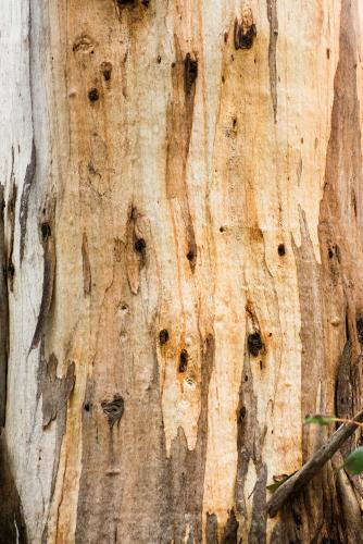 Close up of gum tree trunk with peeling bark and streaked orange colouring