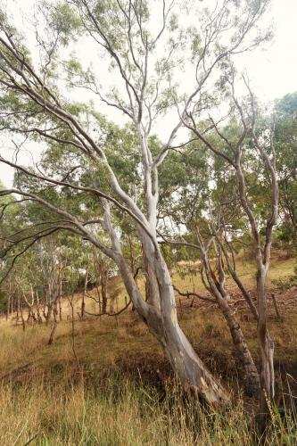 Beautiful mature gum tree in natural Australian landscape in the Victorian countryside