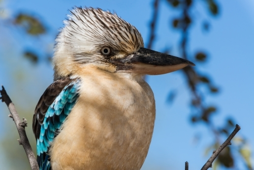 Close up of beautiful Blue Winged Kookaburra with blurred background