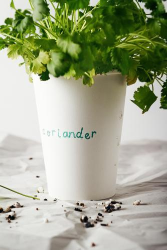 Cilantro coriander herb planted and growing in a paper cup