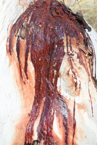 Close up of white tree trunk with dark red sap flowing down