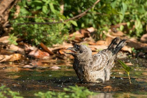 Greater Bowerbird enjoying a bath in a small soak or puddle of water