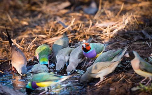 Rare and endangered Gouldian Finches Drinking at a Soak