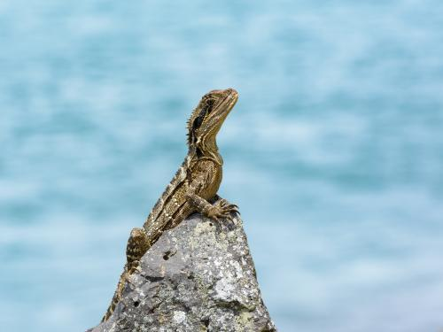 Young eastern water dragon sitting on a rock with blurred blue water behind