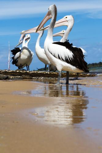 Group of hungry pelicans waiting at the boat ramp in Ballina, NSW