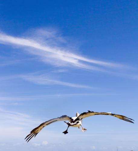 Pelican flying over the water on a blue sky summer day
