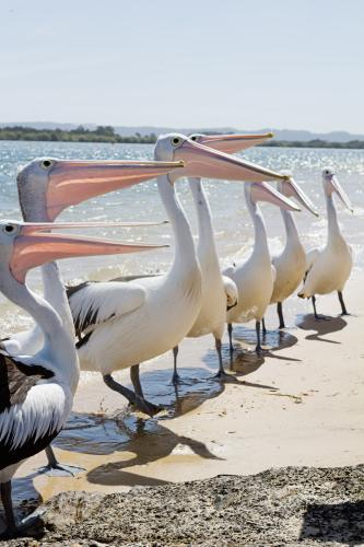 Row of pelicans at the boat ramp in Ballina