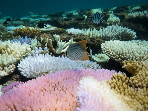 Fish and coloured coral on the Great Barrier Reef