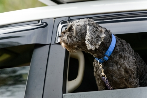 Dark grey dog with blue collar and chain looking out of car window