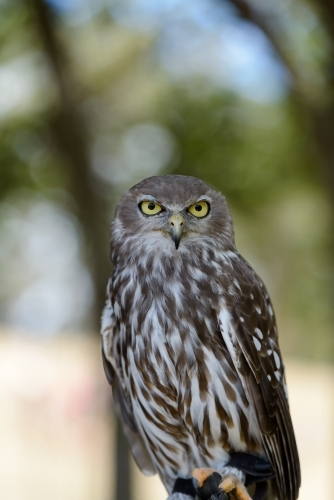 Barking Owl looking straight at camera with blurred background