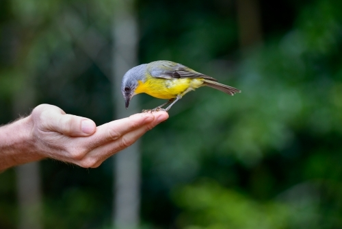 Beautiful, tiny Eastern Yellow Robin sitting on man's finger tips with blurred forest in background