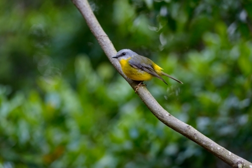 Beautiful little Eastern Yellow Robin perching on a branch with blurred green foliage in background