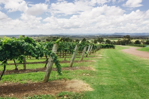 Rows of grape vines in the Hunter Valley