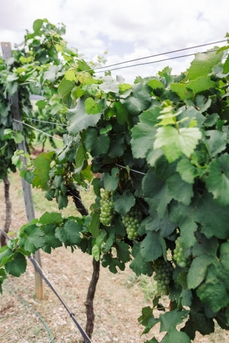 Close up of white grape variety on the vine
