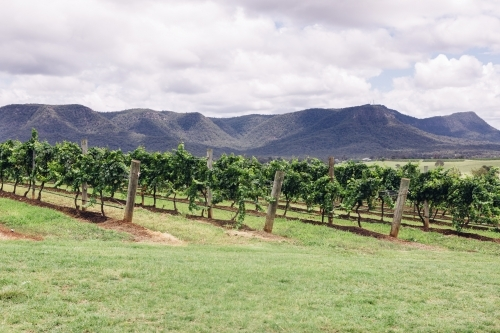 Rows of grapevines in the Hunter Valley with mountain backdrop