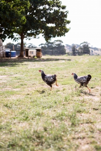 Chickens running free in a grassy paddock on a farm