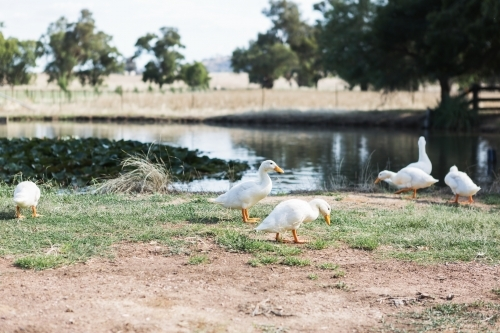 Family of wild white ducks roaming around a farm dam