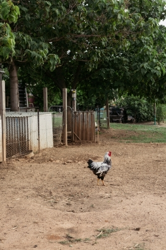 Rooster wandering free on a farm
