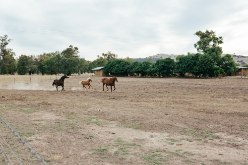 Three horses galloping in a paddock