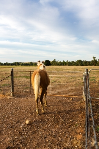Rear of a palomino horse waiting to be let through the farm gate