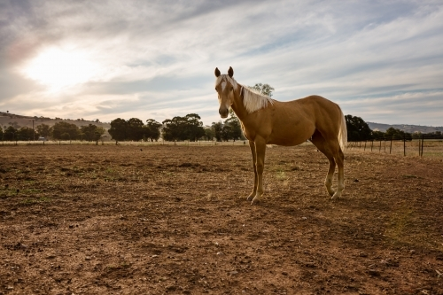 A beautiful young horse standing in a paddock at sunset