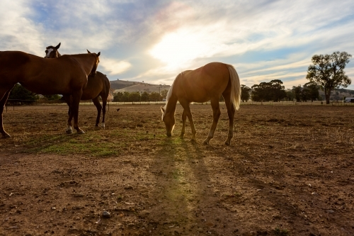 Family of horses grazing the paddock at dusk