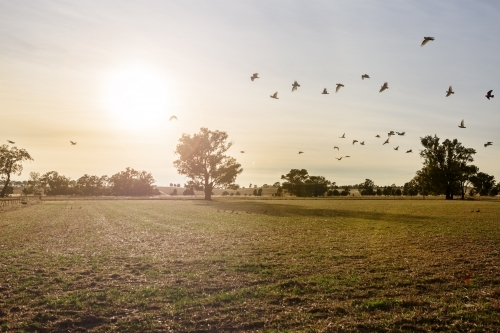 Flock of white cockatoos flying across the paddock at sunrise