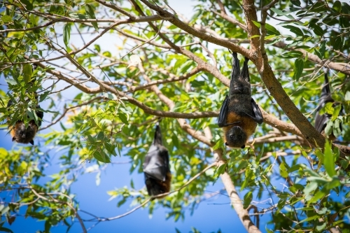 Three fruit bats hanging out in a tree with two looking at camera and one wrapped inside its wings