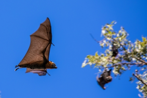 Fruit Bat in flight with blurred tree and other hanging bats in the background